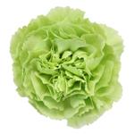 Prado Mint Green Carnation Flower Bloom