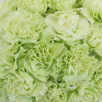 Prado Mint Green Wholesale Carnations Up close