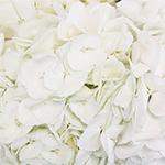White Hydrangea Flower