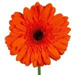 Gerbera Daisy Prestige Dark Orange Flower Up close