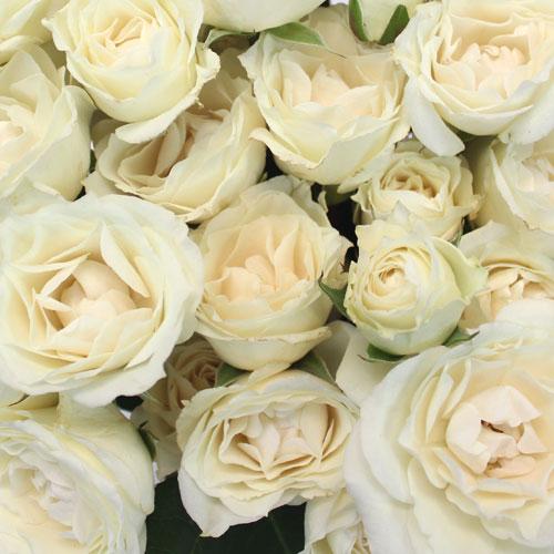 Princess Ivory Cream Spray Roses up close