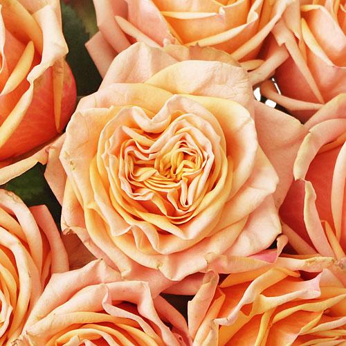 Princess Peach Garden Roses up close