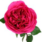 Princess Pink Garden Rose Stem