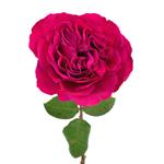 Princess Pink Garden Rose Side Stem View