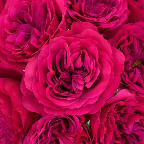 Princess Pink Garden Roses up close