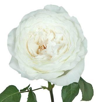 Whisper White Garden Rose