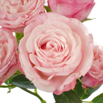 Prismatic Light Pink Spray Roses up close