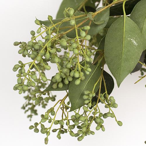 Bulk Green Privett Berries