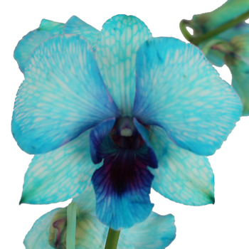 Psychedelic Blue Fresh Orchid Garland