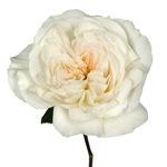 Purity Ausoblige Garden Rose Stem