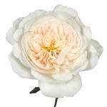 Purity Ausoblige Garden Rose Side Stem View