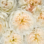 Purity Ausoblige Roses up close