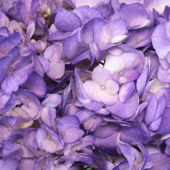 Purple Airbrushed Hydrangea Wholesale Flower Up close