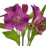 Purple alstroemeria Wholesale Flower Stem
