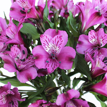 Purple alstroemeria Wholesale Flower Upclose