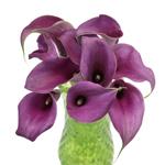 Mini Calla Lilies Purple