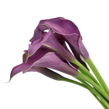 Purple Mini Calla Lilies