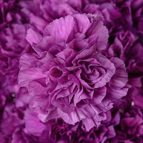 Deep Purple Carnation Flowers