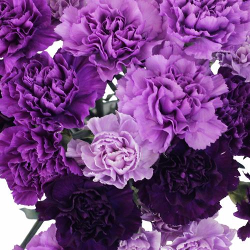 Purple Carnations Close up