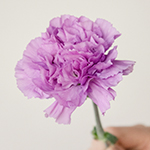 Purple Deep Lavender Carnation Stem