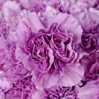 Purple Deep Lavender Wholesale Carnations Up close