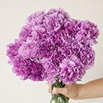 Purple Deep Lavender Carnation Bunch in a hand