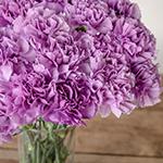 Purple Deep Lavender Carnation Flowers In a vase Close up