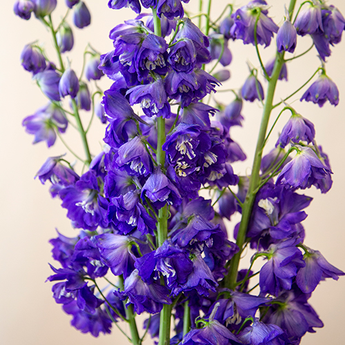 Deep Ocean Blue Delphiniums
