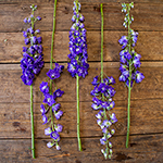 White_Delphinium_Flowers