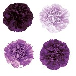 Comparison Purple Carnations Flatlay