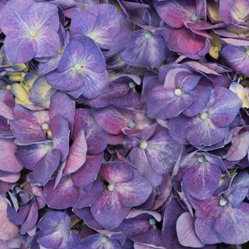 Purple Hydrangea Wholesale Flower Up close
