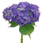 Purple Hydrangea Stem View