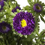 Matsumoto Aster Purple