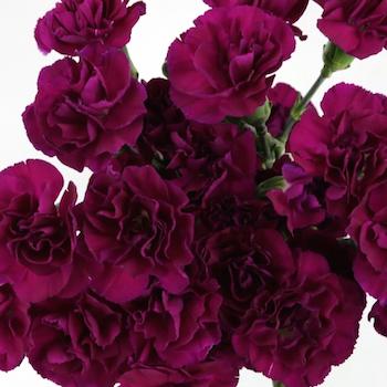 Purple Mini Carnation Flowers Up Close