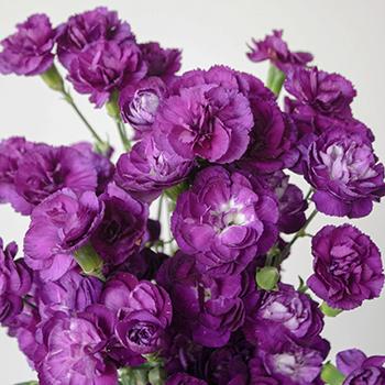 Purple Mini Wholesale Carnations Up close