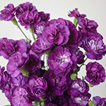 Purple Mini Wholesale Carnations Up close