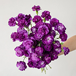 Purple Mini Carnation Bunch in a hand