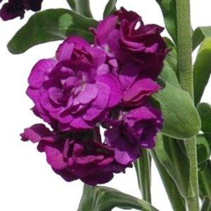 Purple Red Spray Stock Wholesale Flower Upclose