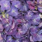 Purple Fresh Cut Hydrangea Flower