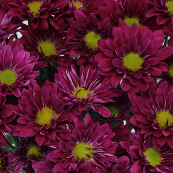 Royal Fuchsia Daisy Flower