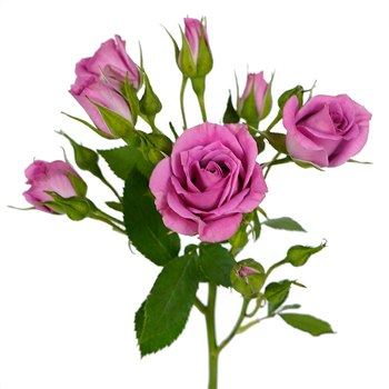 Purple Sky Berry Pink Spray Roses up close