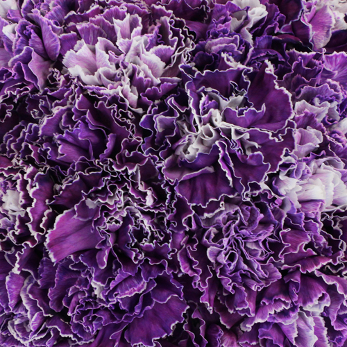 Purple Dyed Wholesale Carnation Flowers