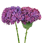 PurpleBerry Hydrangea Flower Stem View