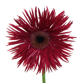 Burgundy Spider Gerbera Flower