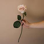 Quicksand Cream Roses Stem