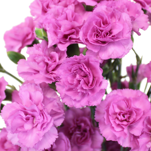 Pink Lilac Mini Carnation Flowers