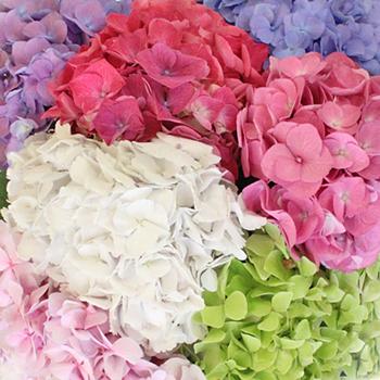 Rainbow of Colors Hydrangea Flowers Up Close