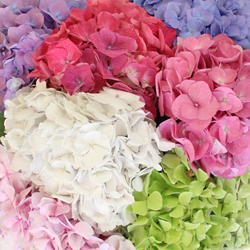 Rainbow of Colors Hydrangea Flowers Up Close