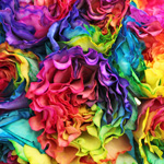 Rainbow Ruffles Roses up close