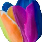 Rainbow Tulip Wholesale Flower Up close